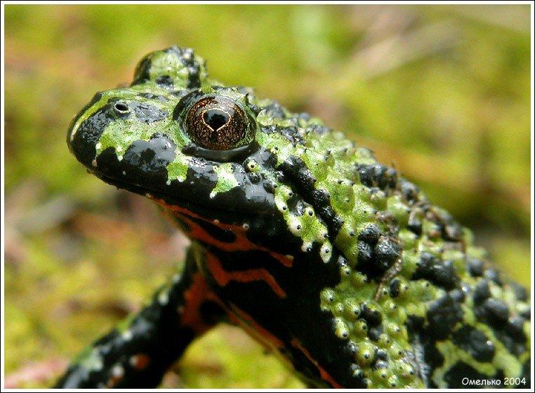 Дальневосточная жерлянка (oriental fire-bellied toad)