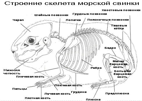 Температура тела морской свинки