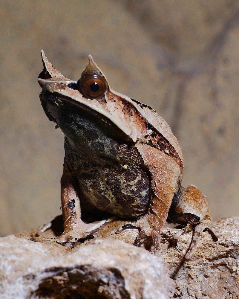 фото рогата жаба