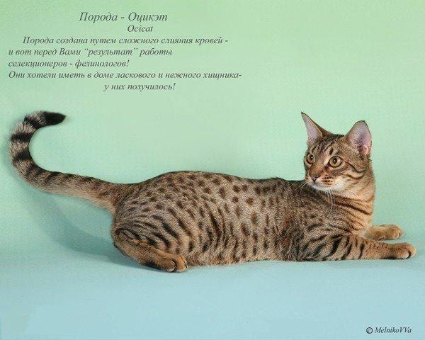 Породы кошек как называется и