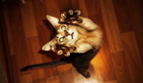 Очень активные кошки абиссинская